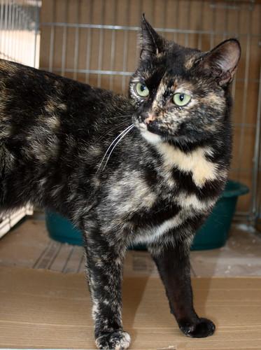 FALLECIDA- Mandala, preciosa gatita carey dulcísima de ojos verdes esterilizada, nacida en Julio´14, en adopción. Valencia. 16775592246_efce082ed5