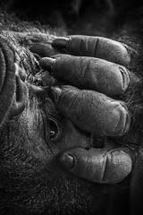 Gorilla Fingers of Paul Donn at the San Diego Zoo 01-30-15