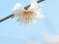 Weeping ume blossom. 枝垂れ梅 白滝枝垂