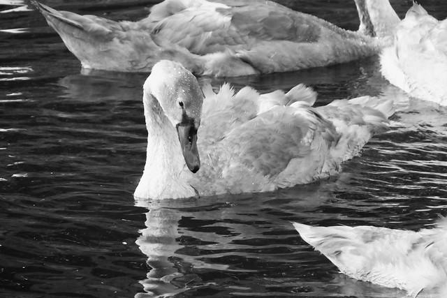 summer evening swans 03