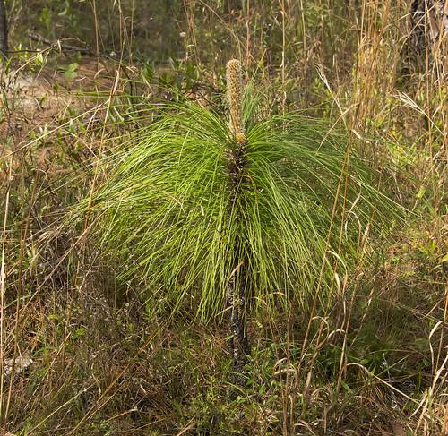 mississippi spring16 flickr plants vanative coniferconiferophyta pinales pinepinaceae gautier unitedstates