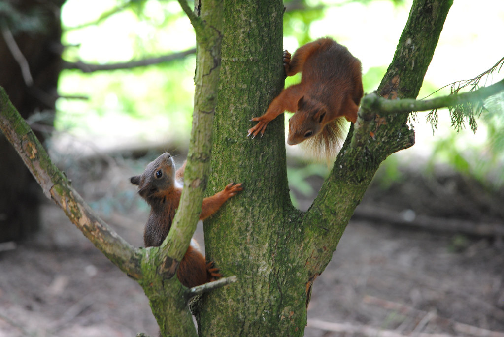 Red Squirrels at play.