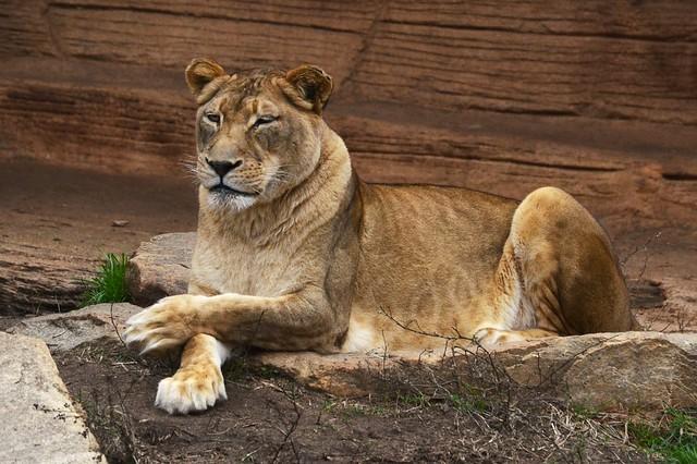 Winking Lion