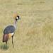 grulla coronada cuelligrís2 (Balearica regulorum)  grey crowned crane (Balearica regulorum)