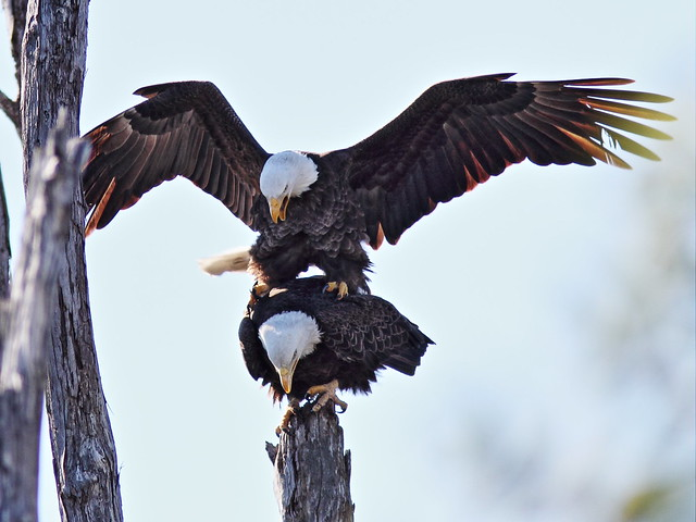 Bald Eagles copulating 2-20150128