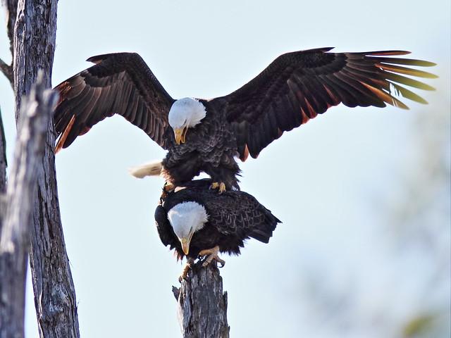 Bald Eagles copulating 2-20150128