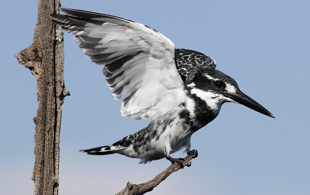 Pied Kingfisher, Ceryle rudis at Pilanesberg National Park, South Africa