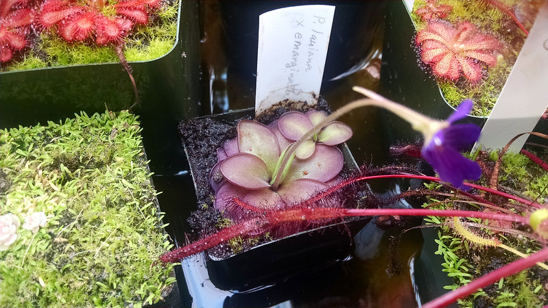 Pinguicula laueana x emarginata with flower.