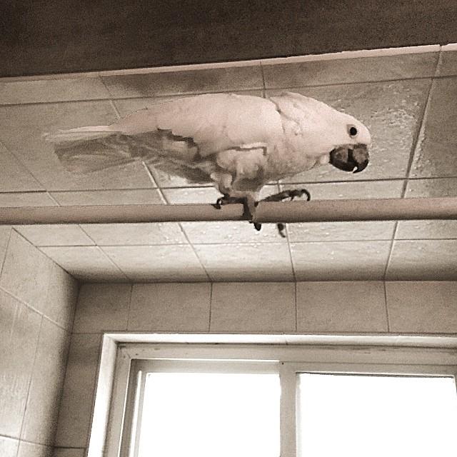 #cockatoo #parrot #bird sarabird on a shower rod in #detroit
