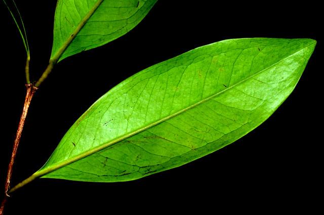 Syzygium divaricatum WinfieldPark DSC_0710 (6)