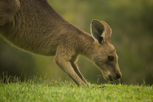 Kangaroo, USC Sippy Downs