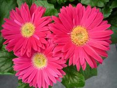 Pink Triplets