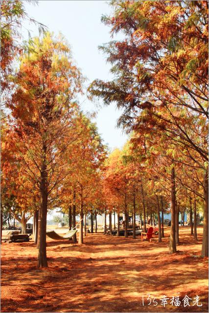 【南投落羽松】139縣道新亮點「落羽松森林」順遊微熱山丘和天空之橋
