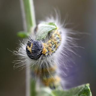 Bufftip moth (Phalera bucephala) Larva 2