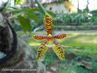 Phalaenopsis cornu-cervi.