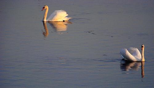 sunset birds swan poland polska backwater ptaki zmierzch łabędź światłocień rozlewisko coloursofwater chairscuro barwywody