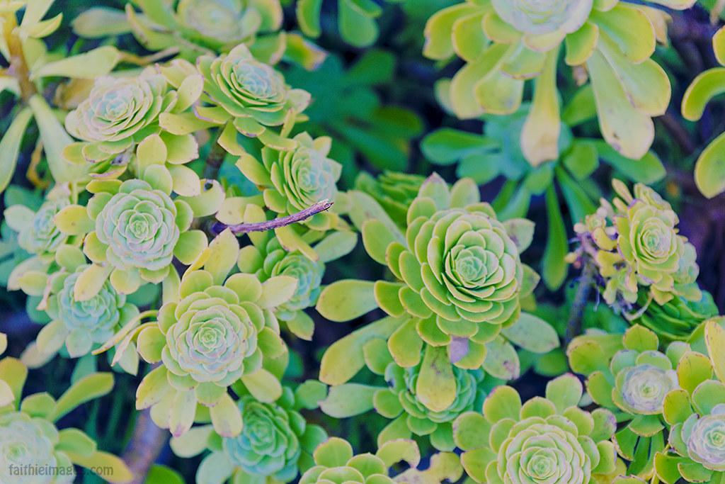 Aeonium Aboreum green succulent plant