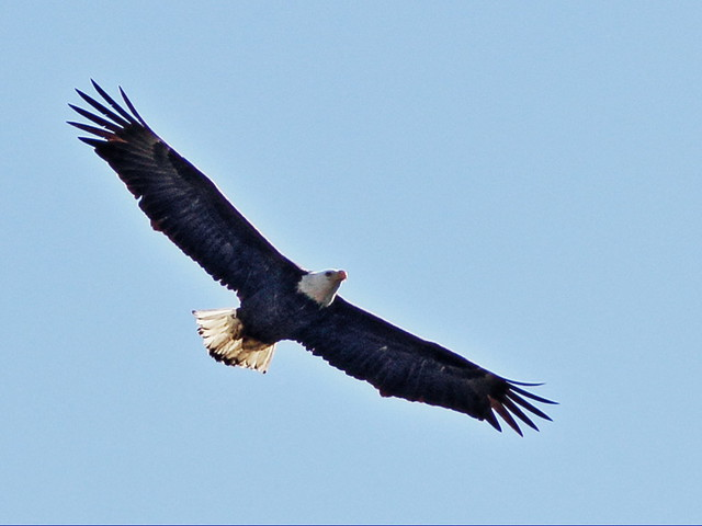 Bald Eagle female soaring 3-20150128