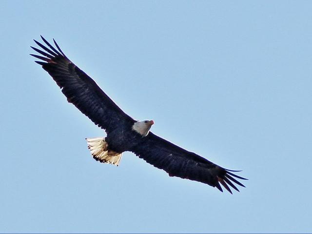Bald Eagle female soaring 3-20150128