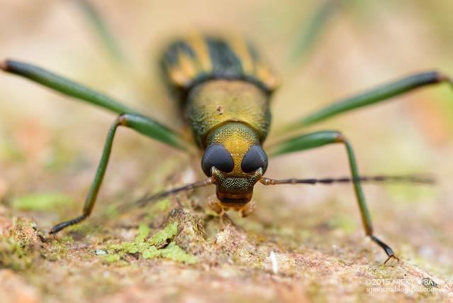 Darkling beetle (Tenebrionidae) - DSC_3812
