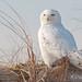 Snowy Owl Stink Eye by Bobby Siliato