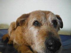 dog breed, animal, dog, pet, mammal, border terrier, irish terrier, terrier,