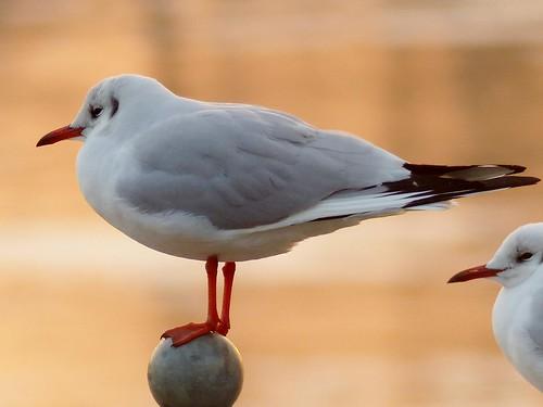 seagull gull möwe larusridibundus blackheadedgull lachmöwe specanimal sunset2012015