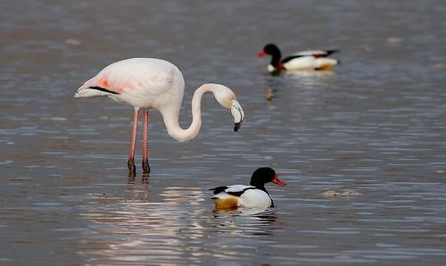 greece phoenicopterusruber greaterflamingo graikija kerkinilake flamingas