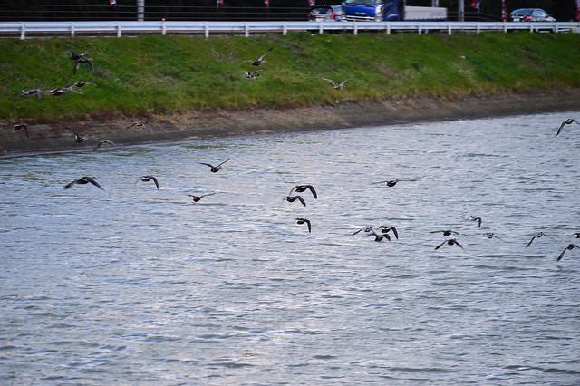 カルガモの群れ Spot-billed ducks
