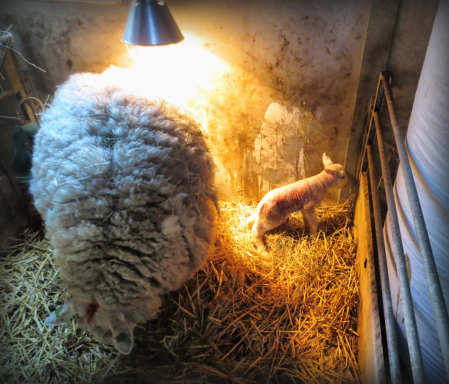 First lamb this spring, Canon IXUS 127 HS