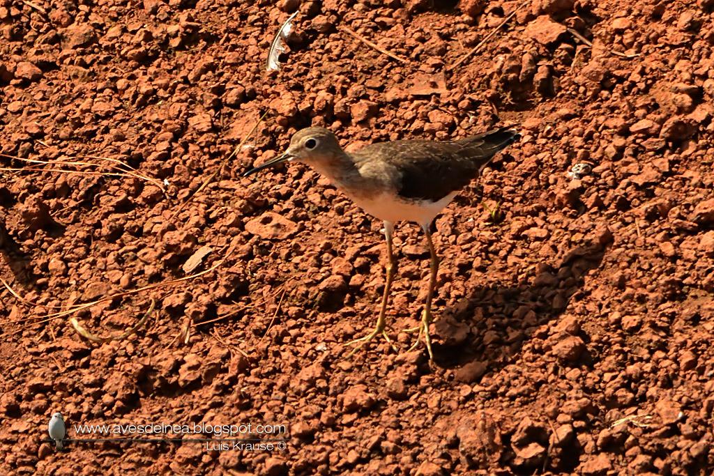 Pitotoy solitario (Solitary Sandpiper) Tringa solitaria818