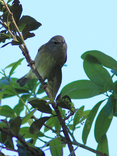 Orange-crowned Warbler poss 20150212