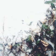 \'In Like A Lion\' came March yesterday:paw_prints: ~ a wintry mix of last year\'s English ivy cross-fading into #snowy dusting changing into wee icy pellets fading into a void of white.. A #gradient of season-switching #magic :herb:❄:grey_exclamation::spark