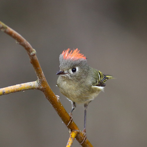 bird nature cherrycreek rubycrownedkinglet reguluscalendula canonef400mmf56lusm snoqualmiewildlifearea