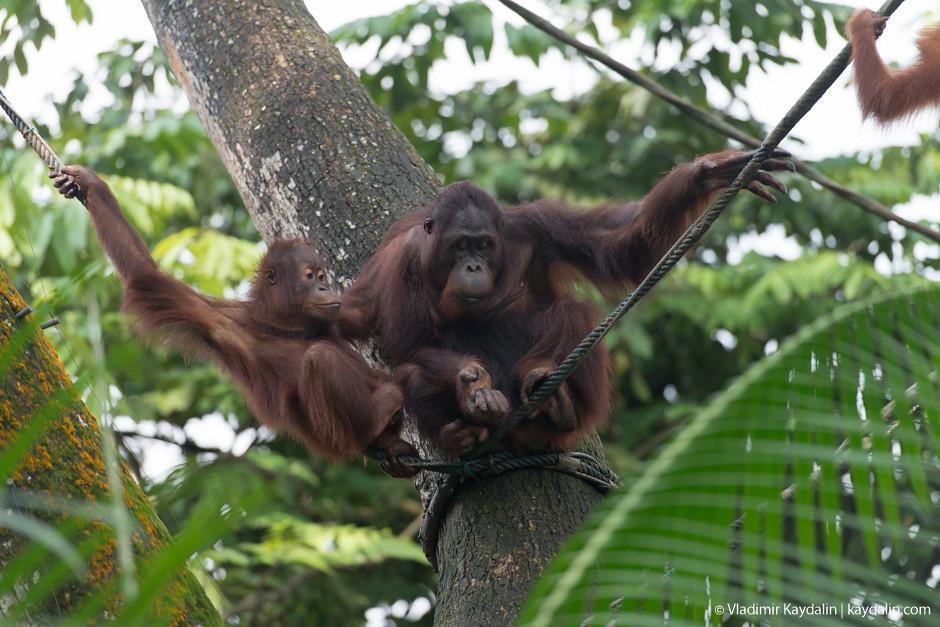 самка и детеныш орангутана