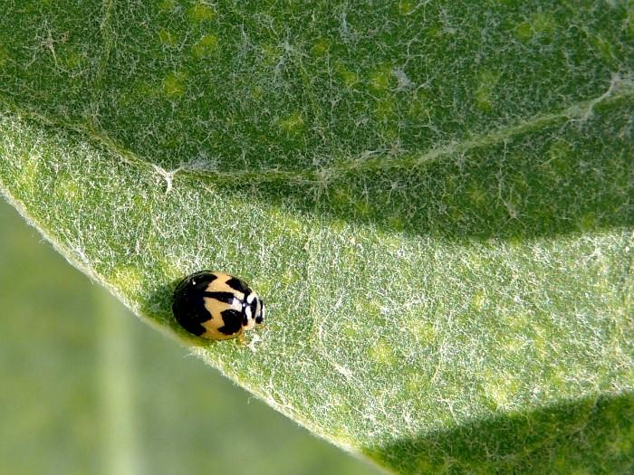 Six-spotted Zigzag Ladybird Beetle Variant