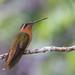 Brazilian Birds - Species # 162 - Hook-billed Hermit by Bertrando©