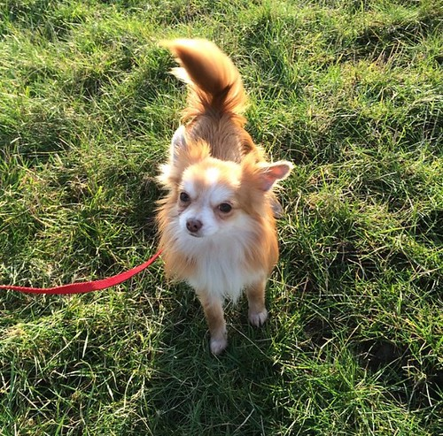 frankie chihuahua dogs trust