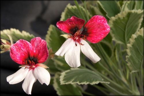 P. 'Dreamland', flower