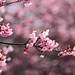 Touching You, Touching Me ~ SAKURA Cherry blossom with a  little bee 平菁街,寒櫻  ~ by PS兔~兔兔兔~