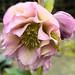 Pink Helleborus Orientalis by Burton Babes