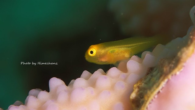 キイロサンゴハゼ幼魚♪