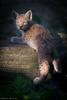 Luchs Lynx