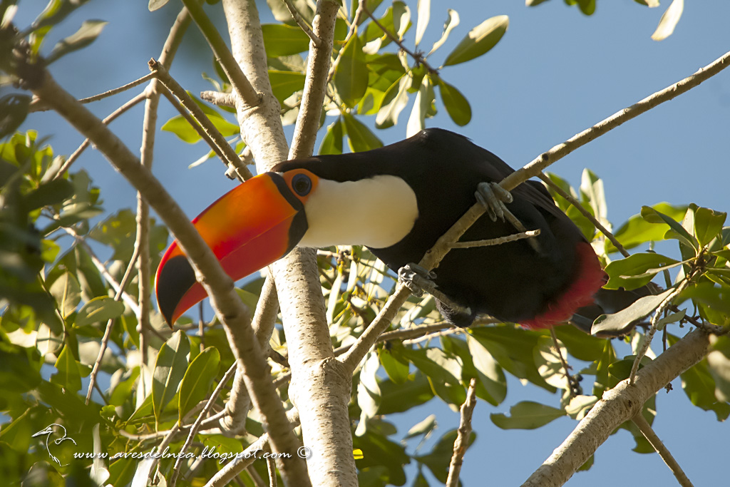 Tucán grande (Toco Toucan) Ramphastos toco