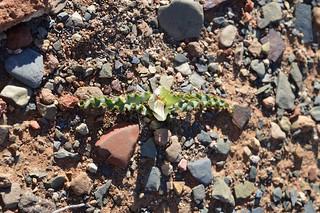 Colchicum (Androcymbium) crispum