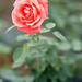 20141102_ikuta-ryokuchi-rose-garden_037