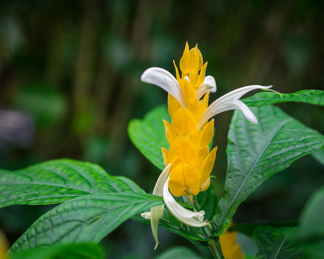 Golden Shrimp Plant