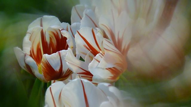 R - Drink a little red wine tulip ... ?!u559du4e86u9edeu7d05u7d05u9152u7684u9b31u91d1u9999u2026?!P2120345