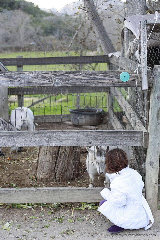 avila barn goats