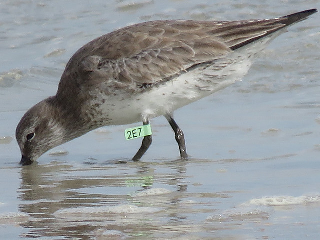 Red Knot (Calidris canutus) 2E7